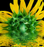 Sunflower reflected in water surface. Royalty Free Stock Photo