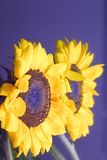 Sunflower reflection. Reflection of Sunflower in mirror royalty free stock images