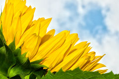 Sunflower rests. Close-up of sunflower petals in summertime against a cloudy sky Stock Photo