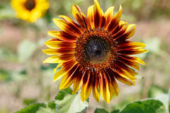 Sunflower - Ring of Fire Stock Photo