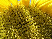 Sunflower. Ripe sunflower, seeds Stock Photography