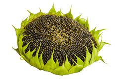 Sunflower with ripe seeds isolated on white background. stock photography