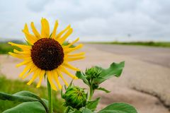Sunflower on the road Royalty Free Stock Image