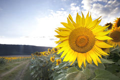 Sunflower Road Stock Image