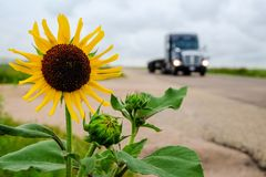Sunflower on the road Royalty Free Stock Photos