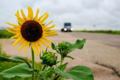 Sunflower on the road Stock Photography