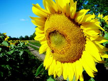 Sunflower at the road. The yellow sunflower blossoms on the edge of a farmer field Royalty Free Stock Photography