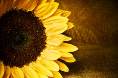 Sunflower. Romantic sunflower with copy space Stock Photo