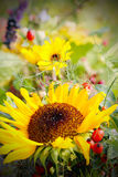 Sunflower and rose hips Stock Images