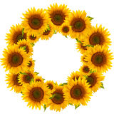 Sunflower. Round frame flower sunflower isolated on a white background stock photography