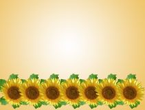 Sunflower in a row Stock Image