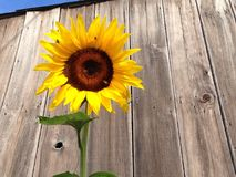 Sunflower rustic barn Royalty Free Stock Photos