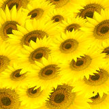 Sunflower's background. Background contained many yellow sunflowers Stock Photos