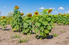 Sunflower& x27; s-familj i jordbruks- fält för sommar royaltyfri foto