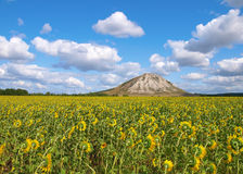 Sunflower's field. Summer landscape. Stock Images