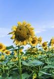 Sunflowers smile Royalty Free Stock Image