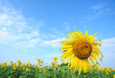 Sunflower saraburi thailand Stock Photography
