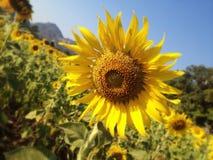 Sunflower at saraburi in thailand Stock Photography