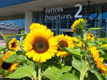 Sunflower Schiphol Airport Stock Image