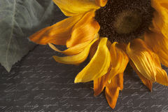 Sunflower on Script Written Background. Yellow sunflower on black script written background Royalty Free Stock Photography