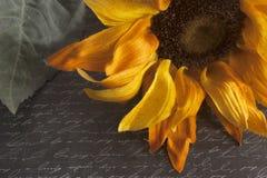 Sunflower on Script Written Background. Yellow sunflower on black script written background royalty free stock photography