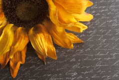 Sunflower on Script Written Background. Yellow sunflower on black script written background Royalty Free Stock Photo