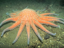 Sunflower Sea Star Stock Photos