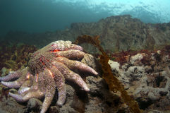 Sunflower Sea Star Royalty Free Stock Photo