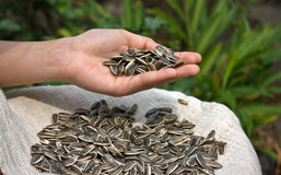Sunflower seed. In girl hand Royalty Free Stock Photography