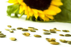 Sunflower with seed Royalty Free Stock Photography