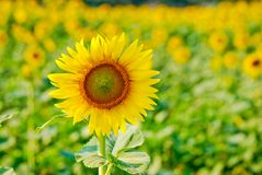 Sunflower and seed on field background stock photography