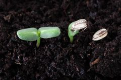 Sunflower seed germination. Top view Stock Photos