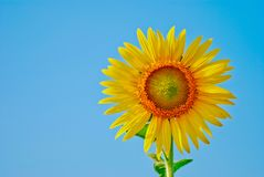 Sunflower and seed isolated on blue sky background royalty free stock photos