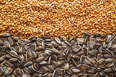 Sunflower seed and wheat grains Royalty Free Stock Photo