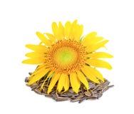 Sunflower seed on white background. Sunflower seed on a white background Royalty Free Stock Photo