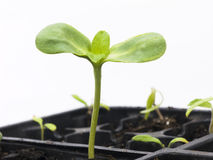 Sunflower Seedling Royalty Free Stock Image