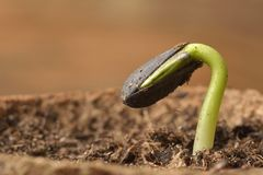 Sunflower seedling bursting from its seed casing. Stock Photo