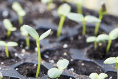 Sunflower Seedlings in Trays Royalty Free Stock Images