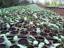 Sunflower seedlings. Waiting cultivation plots Stock Image