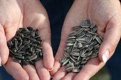Sunflower Seeds #1. Sunflower Seeds - Oil (left), Confection (right royalty free stock photo