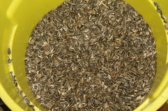 Sunflower Seeds. Yellow Barrel Full of Fresh  Sunflower Seeds Royalty Free Stock Images