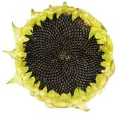 Sunflower with Seeds Stock Photo