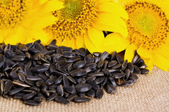 Sunflower with seeds Royalty Free Stock Photography
