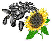 Sunflower and seeds Stock Photography