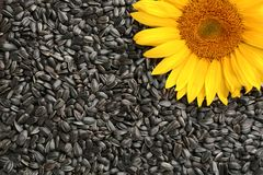 Sunflower Seeds And Flower Royalty Free Stock Photo