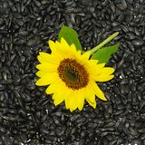 Sunflower on seeds background. One natural sunflower on black seeds background Stock Images