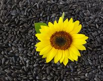 Sunflower on seeds background. One natural sunflower on black seeds background Royalty Free Stock Photo