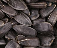 Sunflower seeds background. Background of some sunflower seeds. Whole background Royalty Free Stock Photo