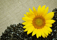 Sunflower, seeds and canvas Royalty Free Stock Photo