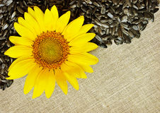 Sunflower, seeds and canvas Stock Images